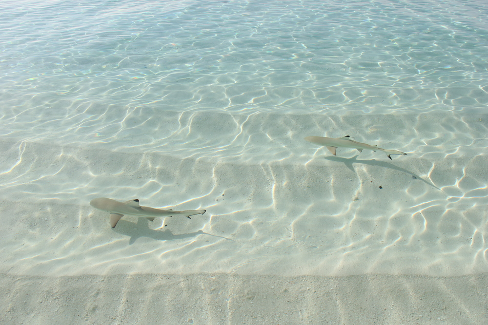 Baby black tip reef sharks swim the shore