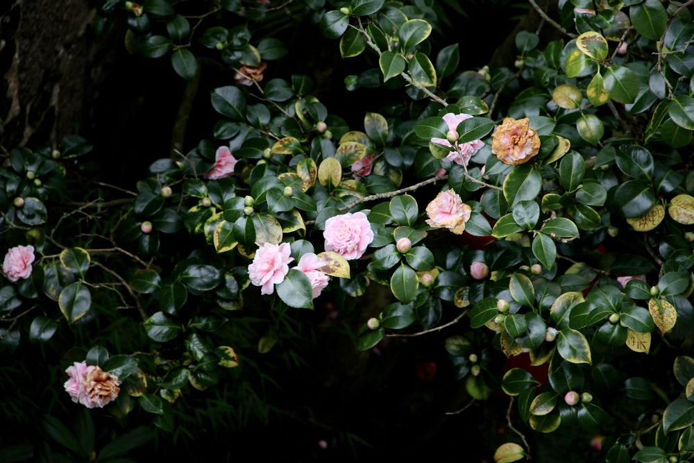 Camelia flowers blooming in the garden at La Maison Pavie, Dinan, France