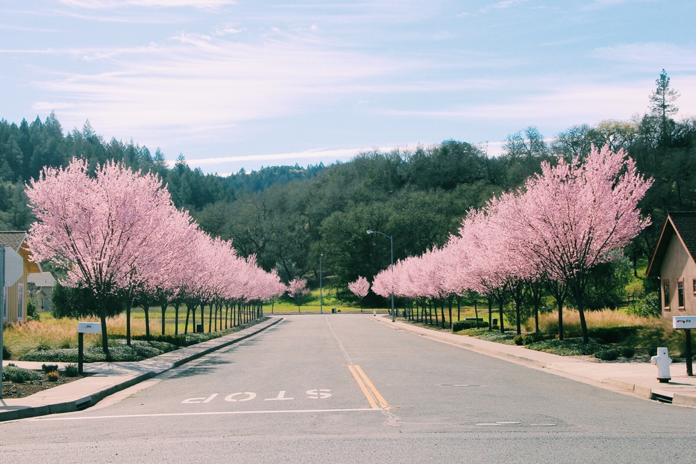 Blossoming cherry trees make for the cutest residential street in Napa