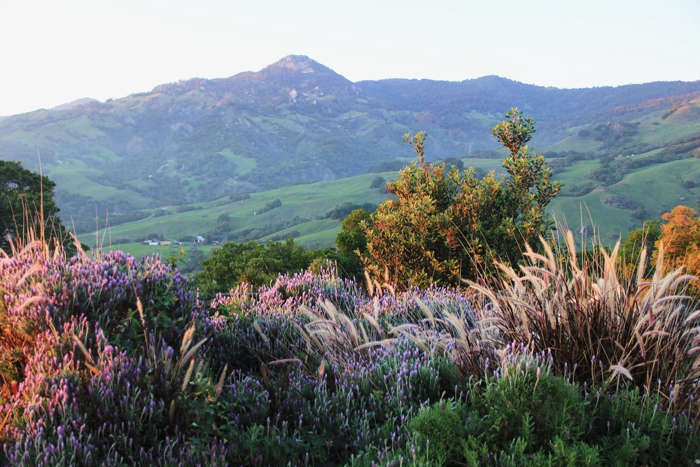 "Lavender feels at sunset in Cambria, CA from the porch of the ""Big House"" at Stepladder Ranch"