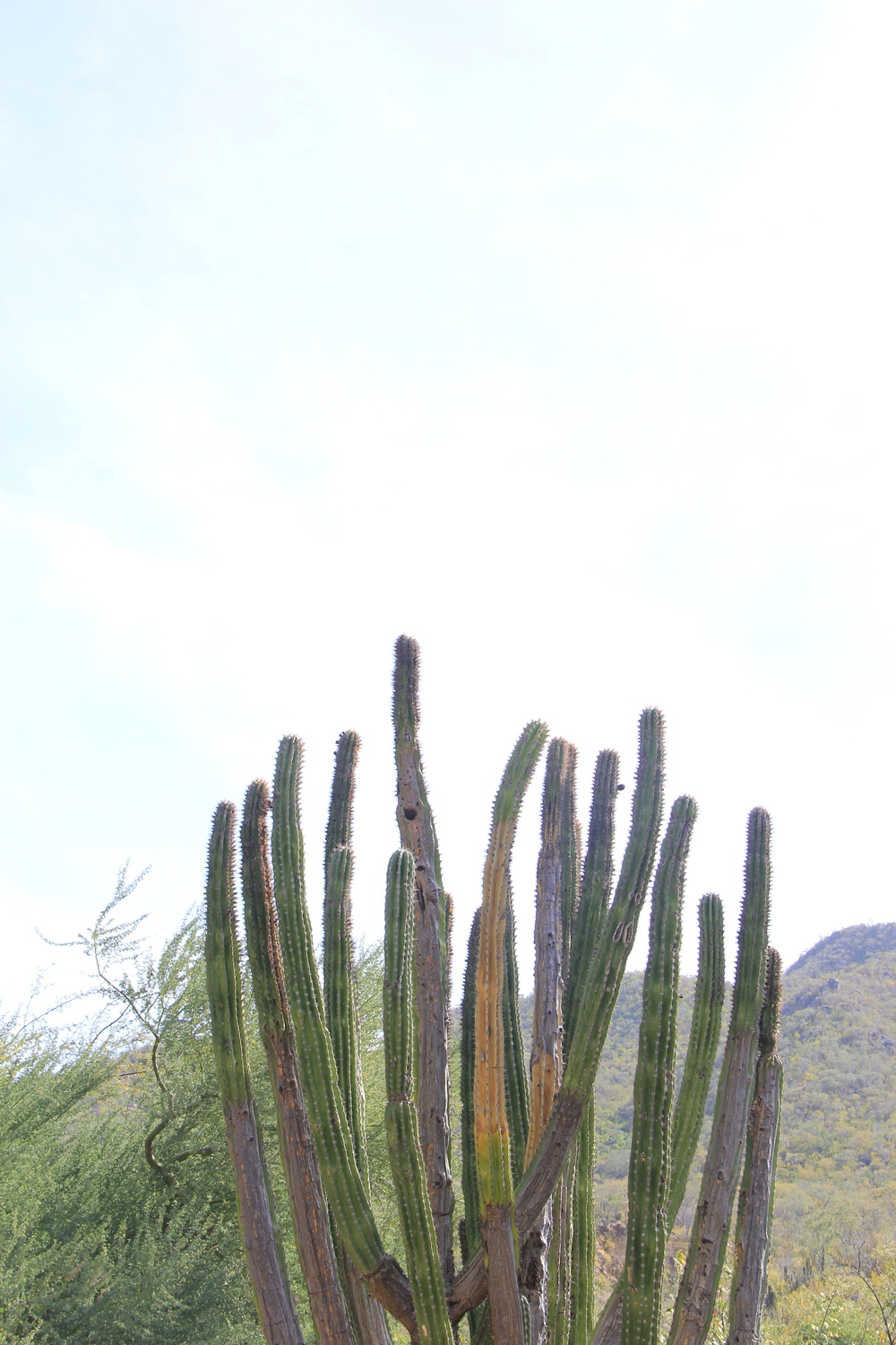 Cardon Cactus along the backroads of Baja California Sur