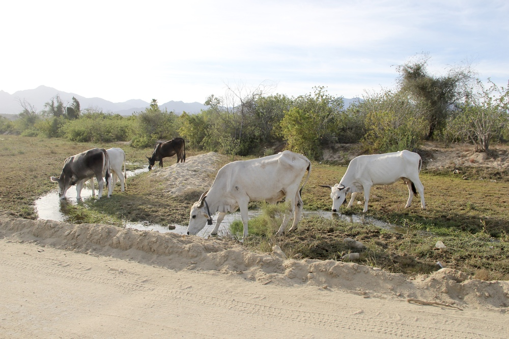 Cows | Baja California Sur