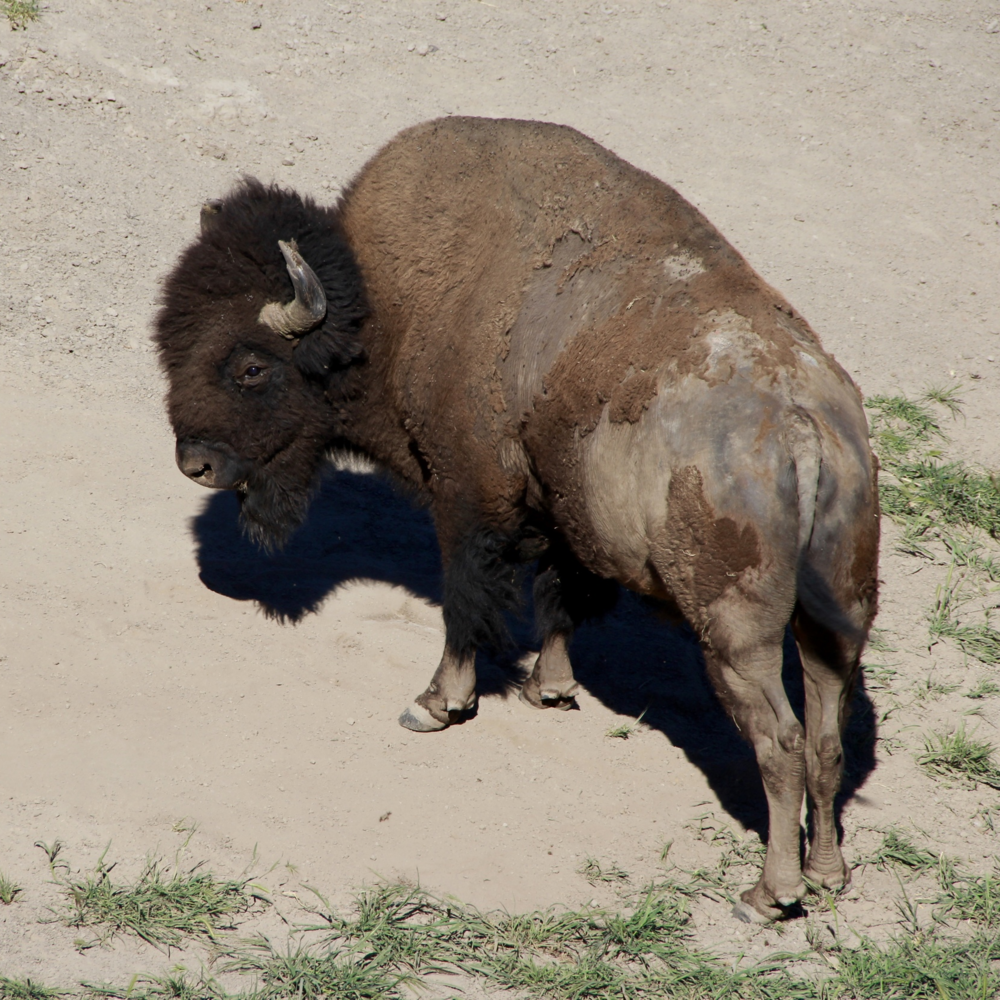 """""""Pete"""" (as he's known on the island), the buffalo that always roams alone"""