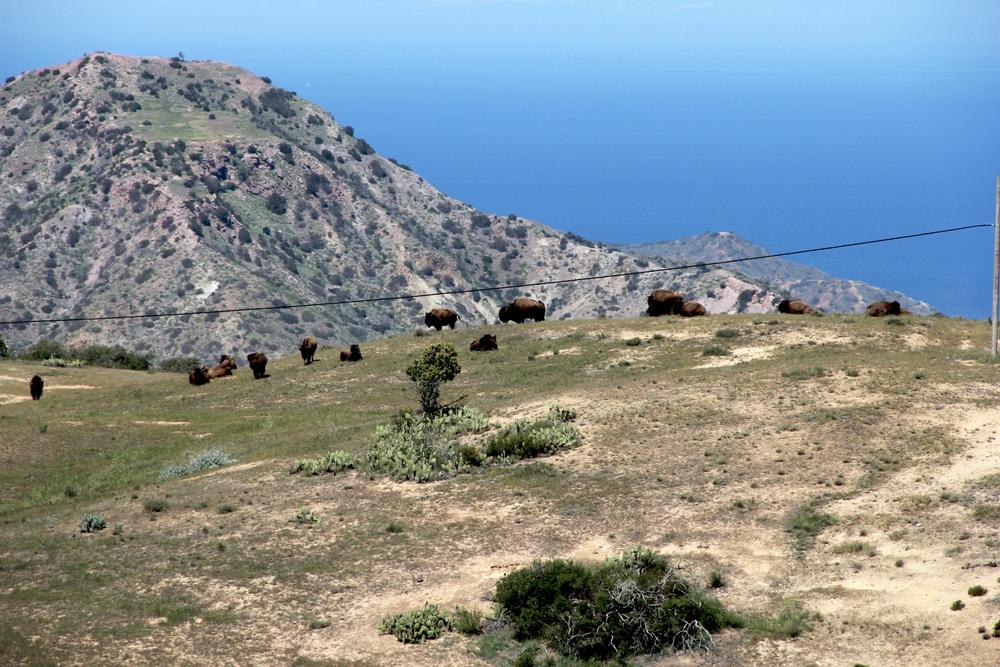 """""""hundreds"""" of bison"""
