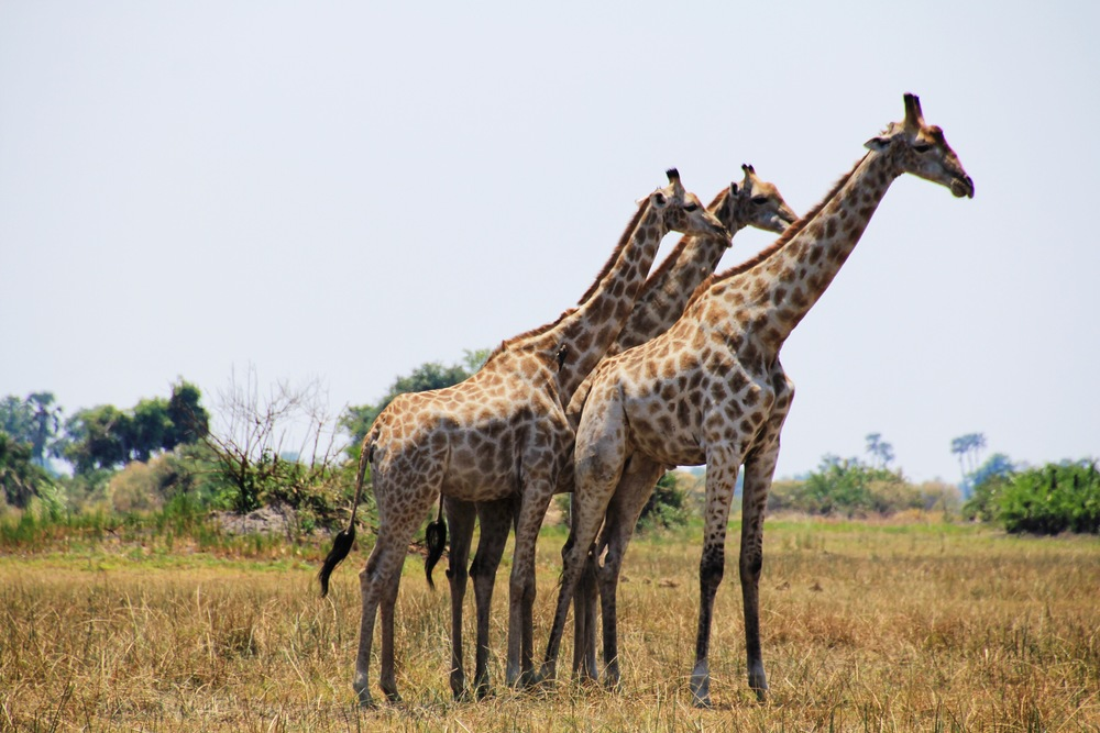 Giraffes in Botswana via @lovingjune on Beyond Ordinary Guides
