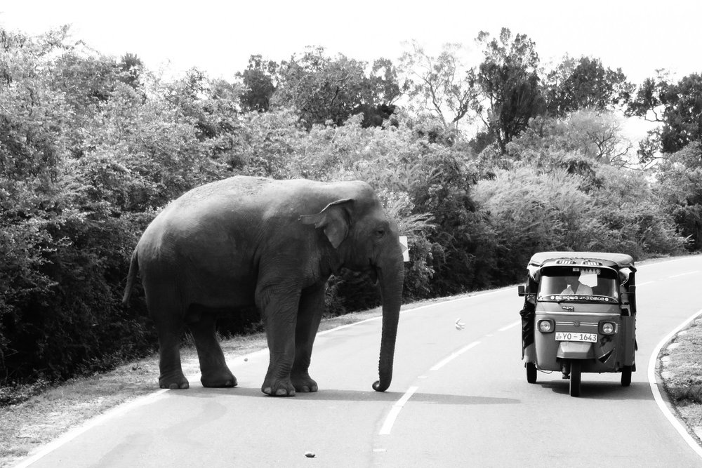An elephant encounters a tuk tuk on the road (see the banana between them?) | Photo by Annie Lovell