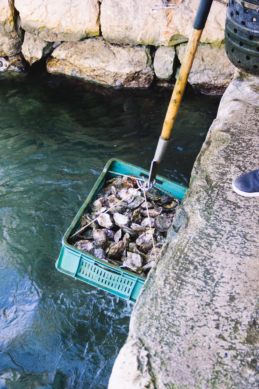 oysters in ston, croatia-3.jpg