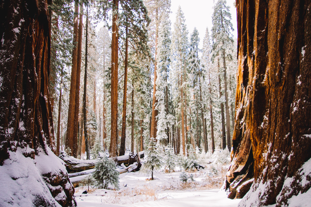 Visiting Sequoia National Park in the Winter | Congress Trail