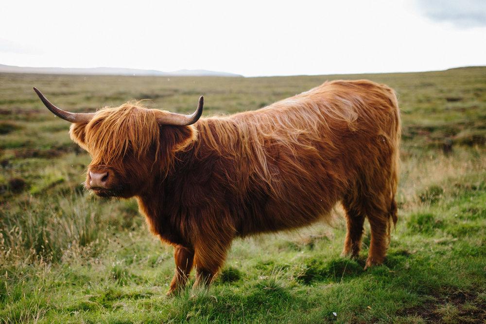 Highland Cow, 2017