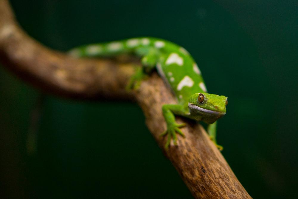 gecko nz