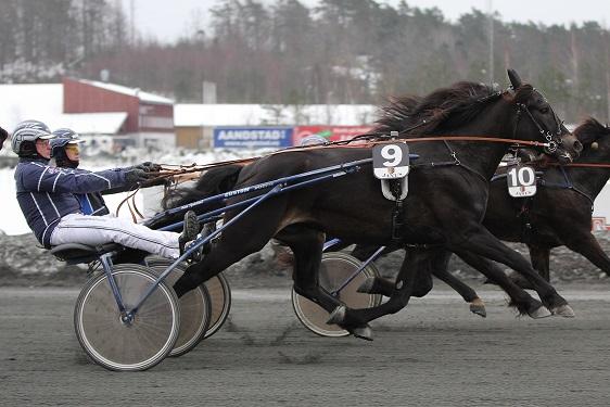 Ossmann strekker på seg og når akkurat frem til V75-seier på streken sammen med trener Øystein Tjomsland. Ossmann eies av Steinar Nordengen, Øyvind Sandvik og Tommy Røssland. Alle foto: Arnfinn Roaldsøy.