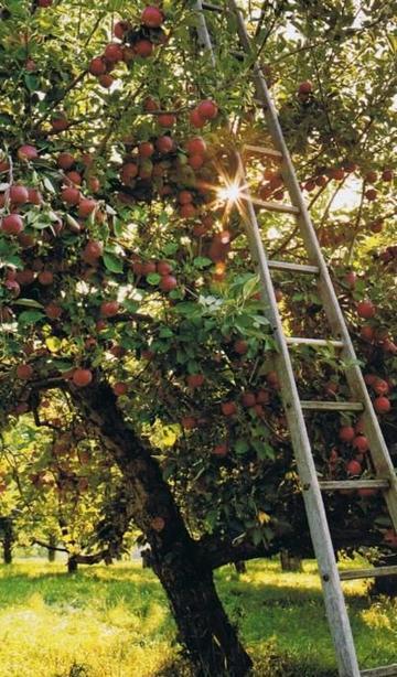 apple trees.jpg
