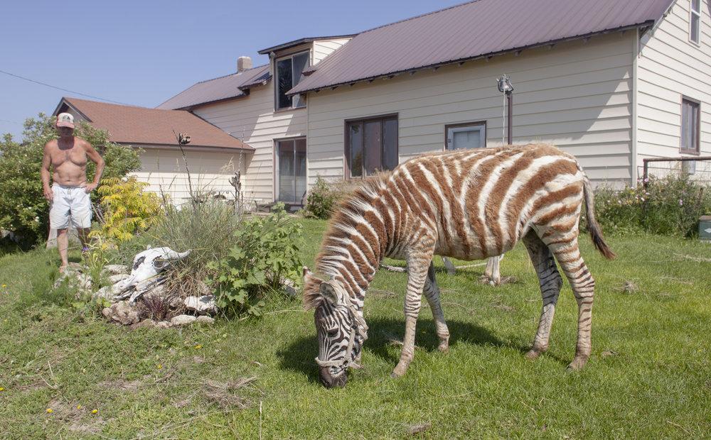 Zebra on the prairie.  Somewhere in between Valentine and Rosebud.