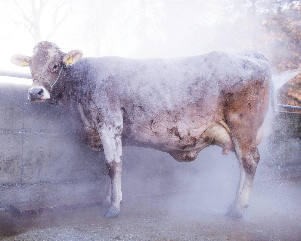 Mucca brillante, Cazis (GR-CH 2015)