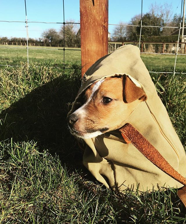Man portable pup. #jackrussellterrier #manbag #shooting #digging
