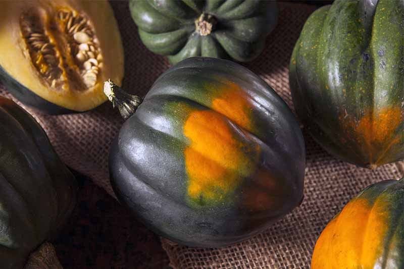 Tips-to-Grow-Acorn-Squash.jpg