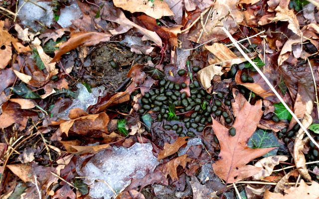 White-tailed deer leave scat everywhere! This also helps signal close proximity to the trails they make as well. Rather than struggling through briar and bush, it is better to look down and then around for the gift of the trails the deer leave us. These will lead back to the creek.