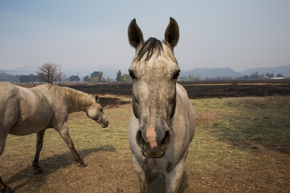 With a singed mane and slightly burnt nose, this horse was one of the lucky ones from San Diego.