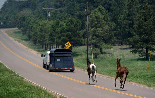 These mules did not want to get on the trailer with their buddy during a Colorado fire, but when the trailer left, so did they.