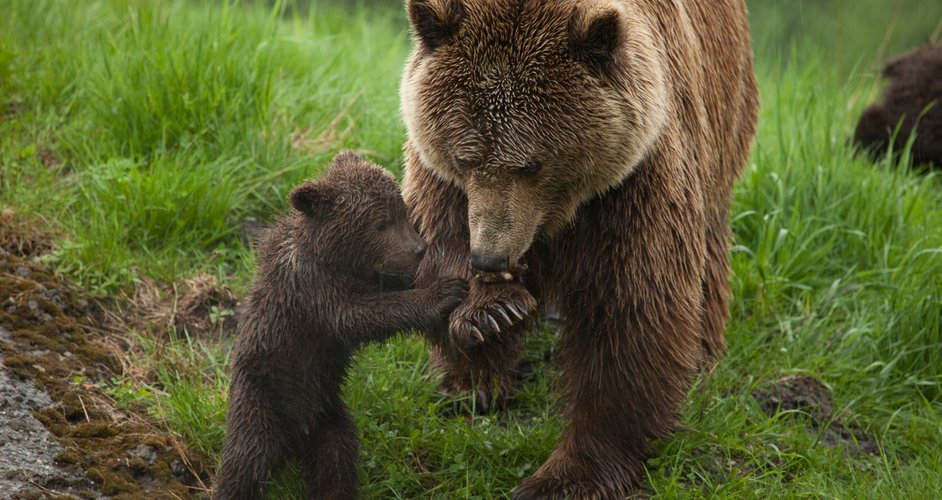 Bear cubs are usually born in a cave during winter. Most of the time, mother bears give birth to twins, But one to five is possible. The newborn is born naked, blind and not larger than rats.  Sounds like a creature that needs to be killed before they even have a chance ( sarcasm mine)