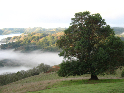 Madrone with Fog.jpg