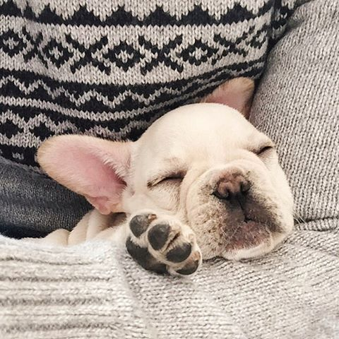This looks like a great place for a nap. #Bowser #puppy #frenchbulldog #frenchie #frenchiepuppy #frenchies
