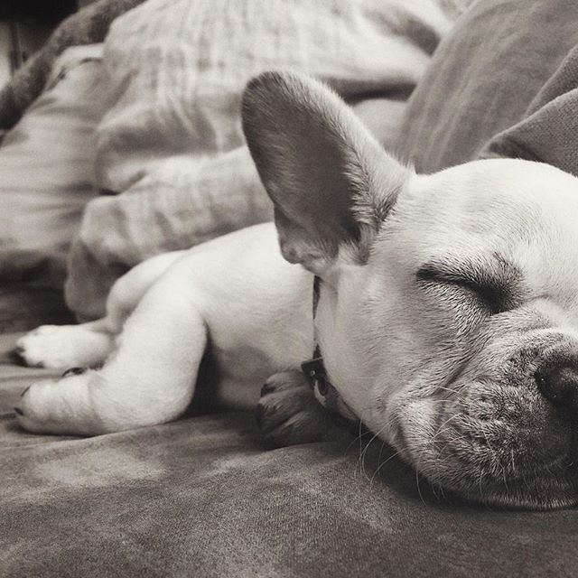 All I do is sleep, sleep, sleep no matter what. #Bowser #frenchie #frenchbully #frenchbulldog #frenchiepuppy #frenchies  #puppy