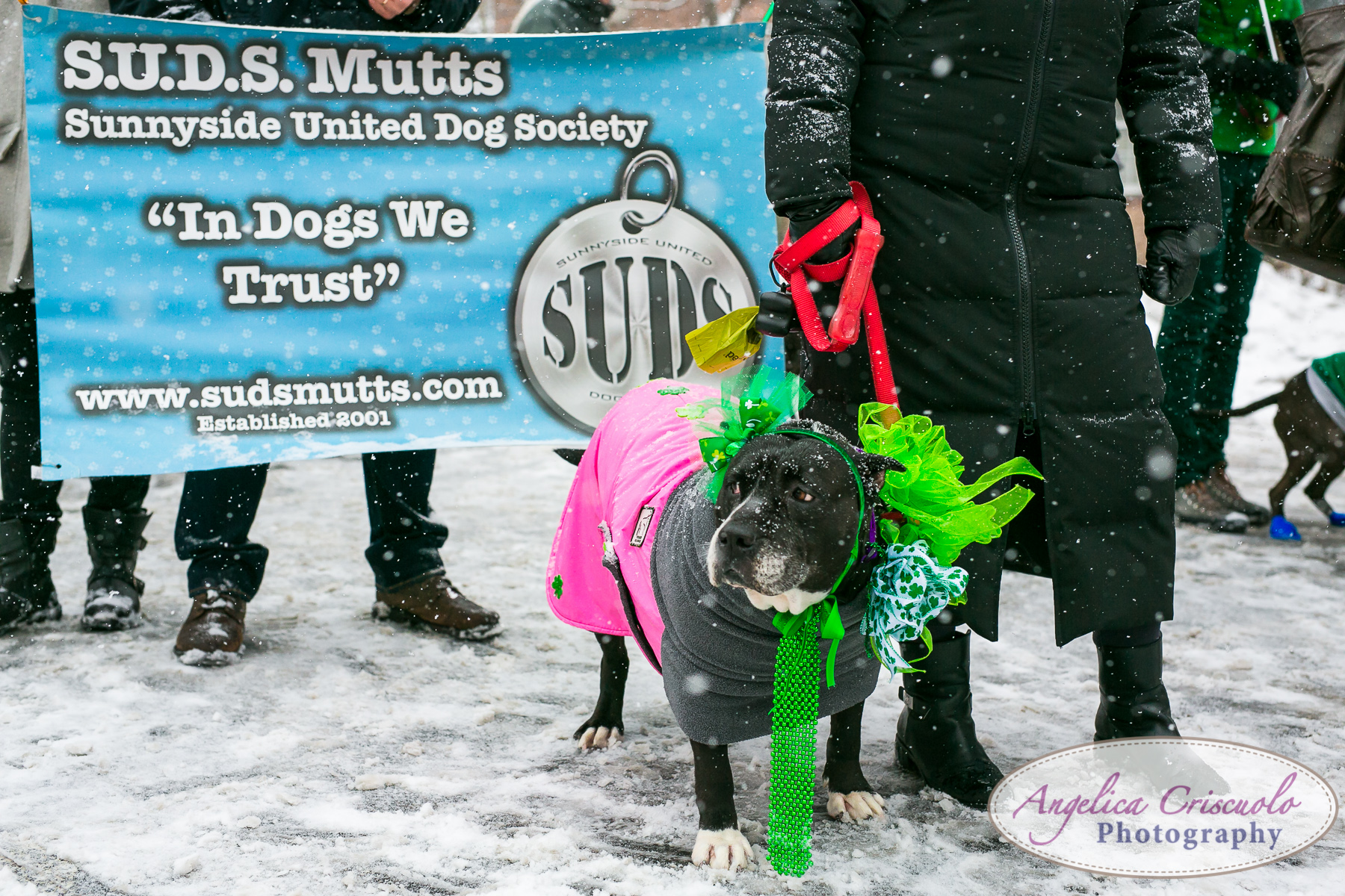 St.Patricks Day Parade Pitbull Mix Rescue Sean Casey Wes Paw Charlotte LIC Queens SUDS