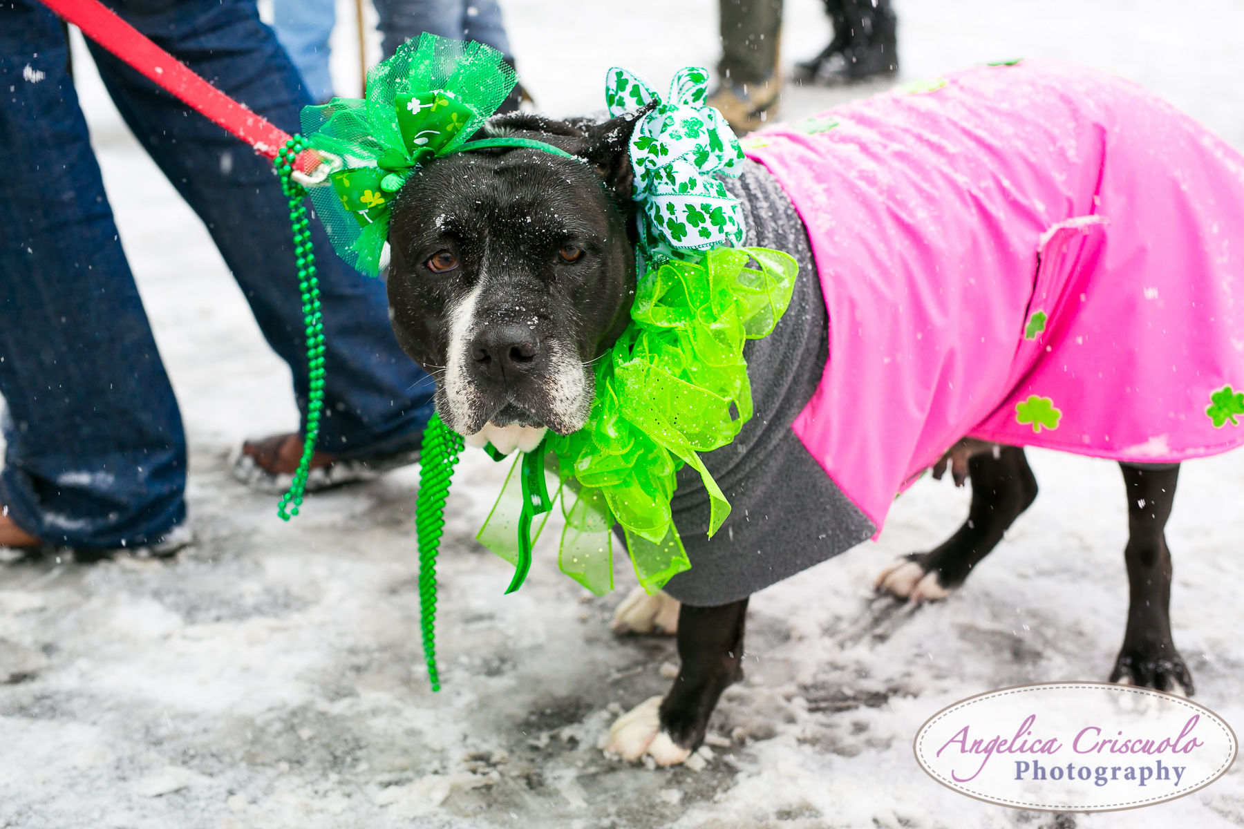 St.Patricks Day Parade Pitbull Mix Rescue Sean Casey Wes Paw Charlotte LIC Queens NY