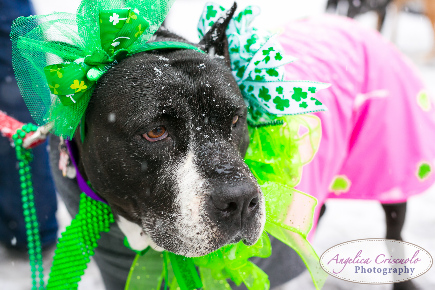 St.Patricks Day Parade Pitbull Mix Rescue Sean Casey Wes Paw Charlotte LIC Queens PitbullLove