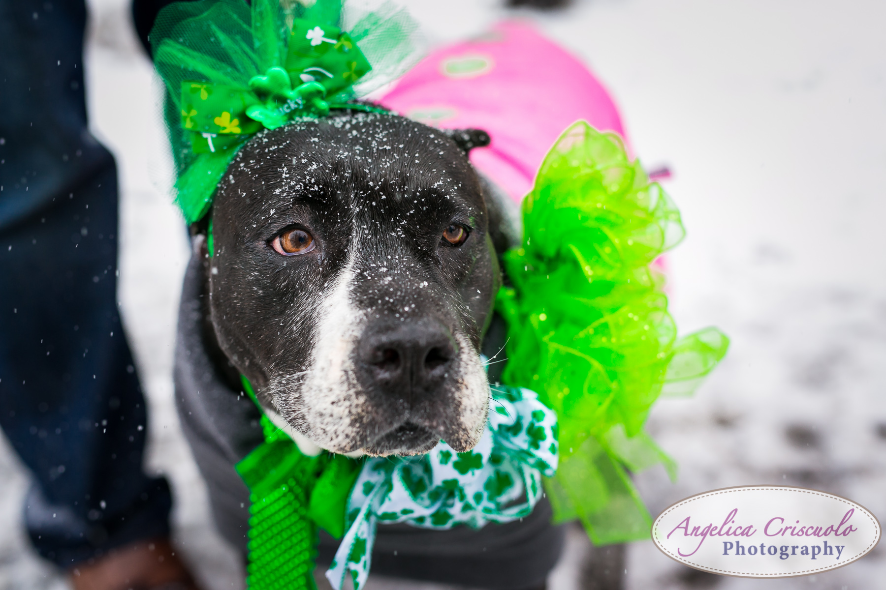 St.Patricks Day Parade Pitbull Mix Rescue Sean Casey Wes Paw Charlotte LIC Queens