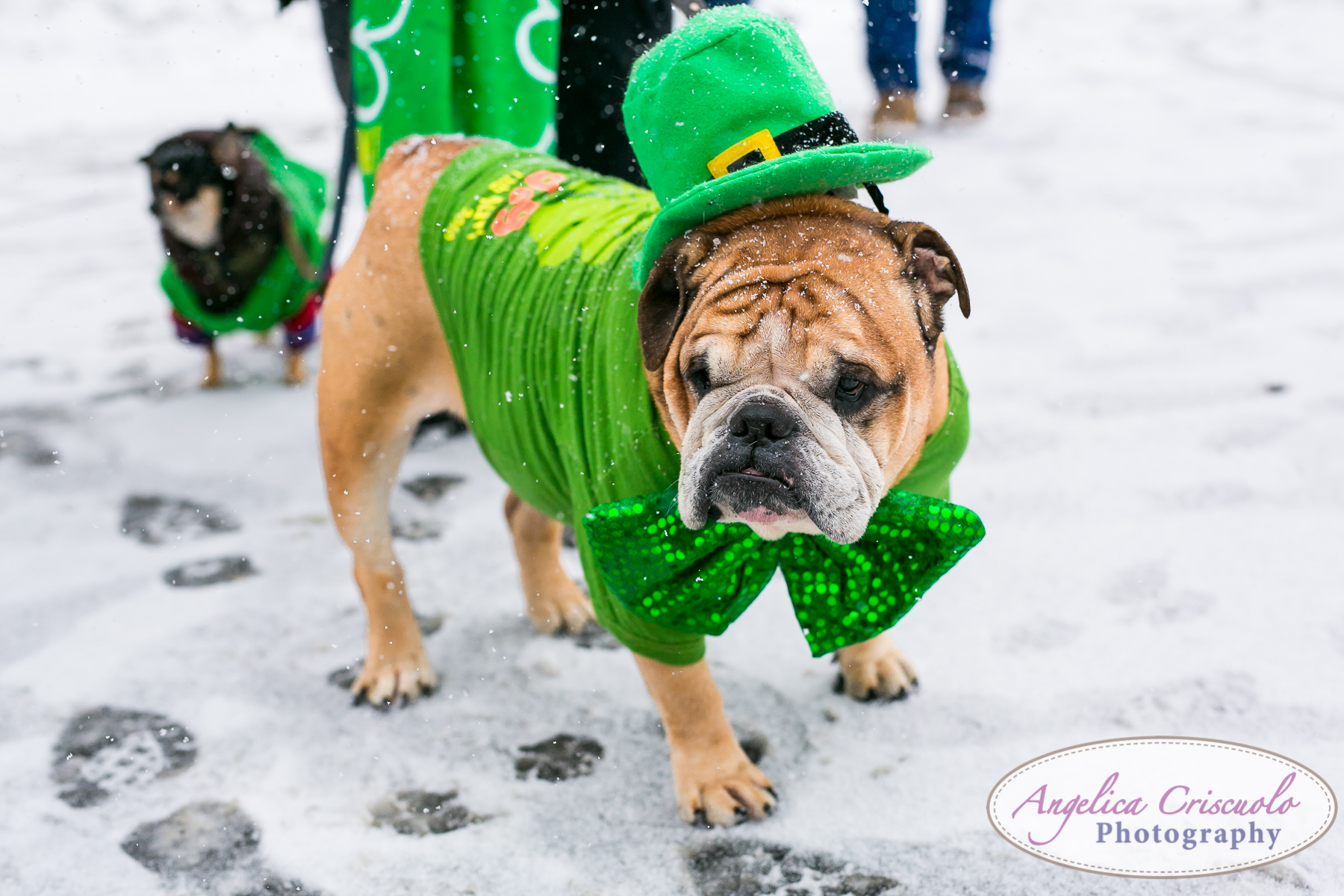 St.Patricks Day Parade Pitbull Mix Rescue LIC Queens English Bulldog