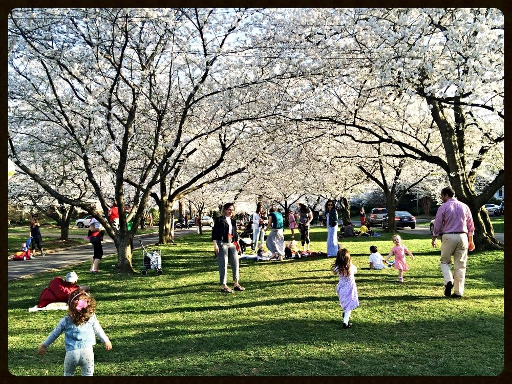 Cherry blossom fervor