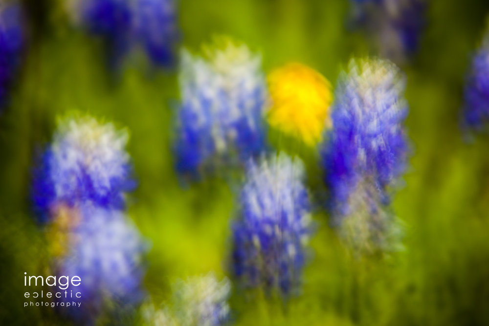 Dreams of Bluebonnets