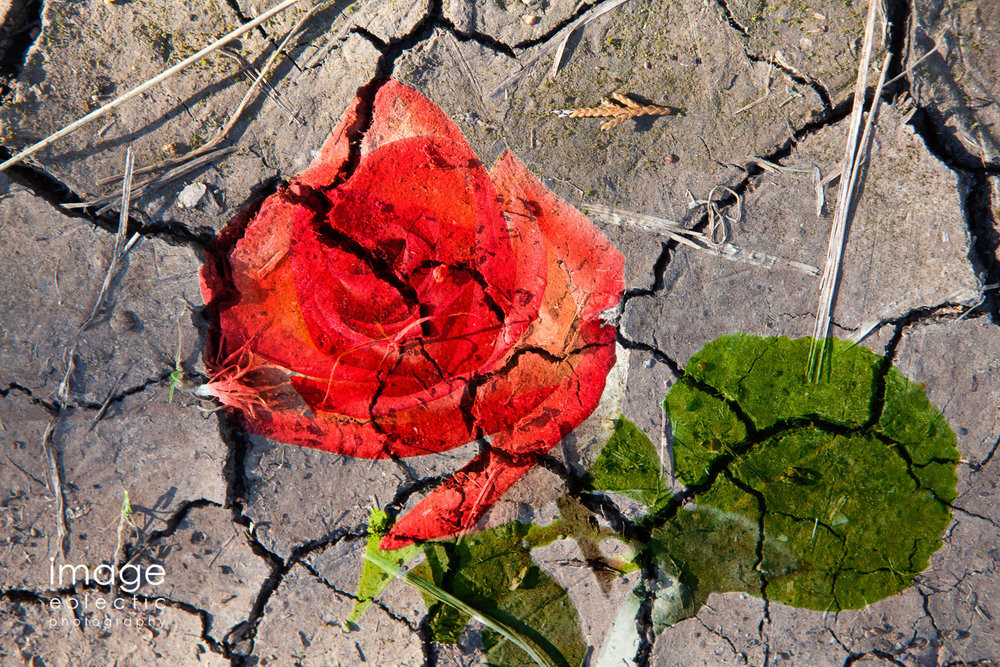 Rose on Mud