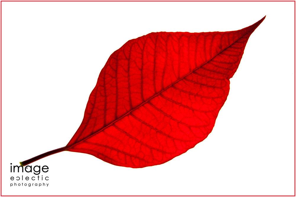 Poinsettia Red