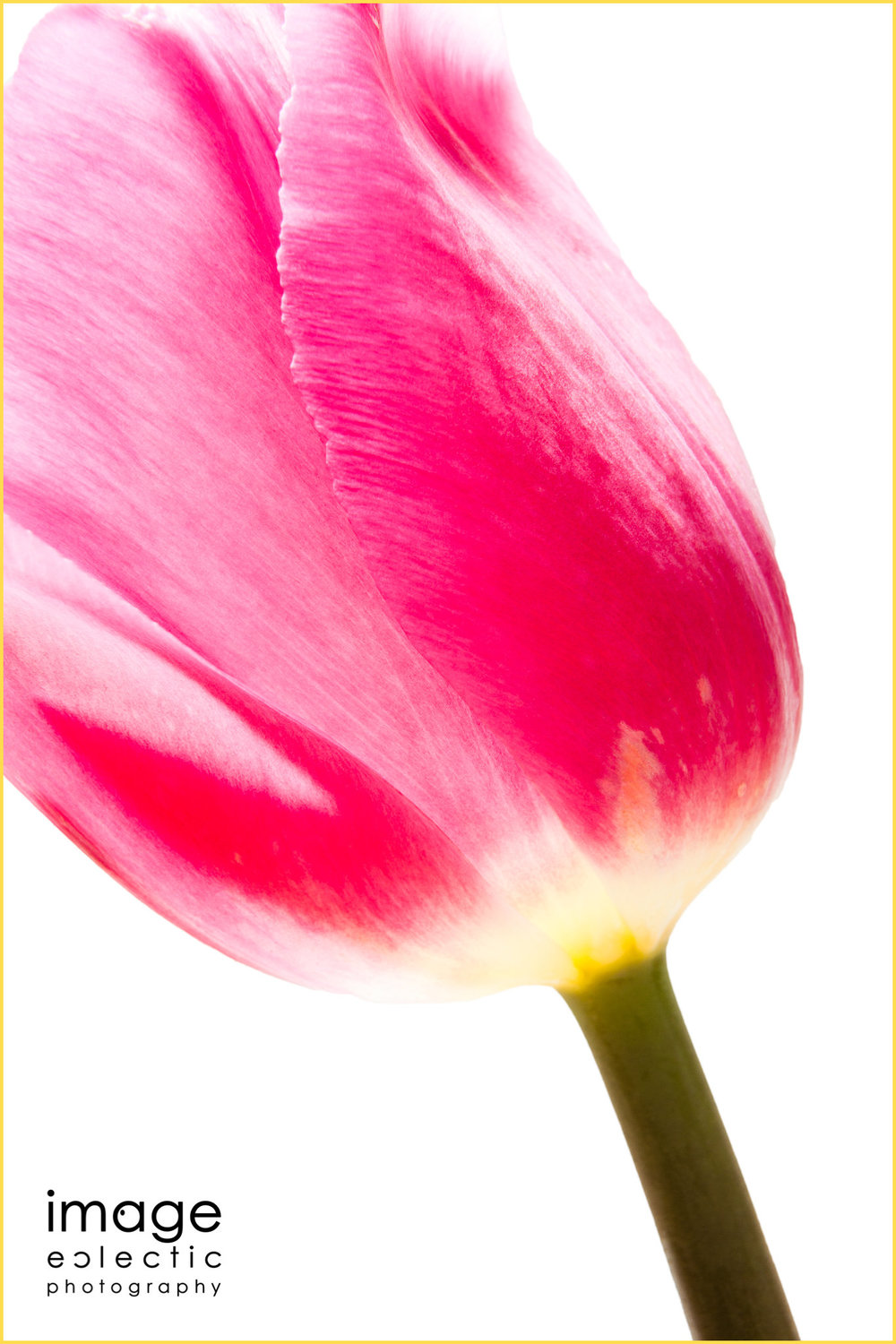 Tulip in Light