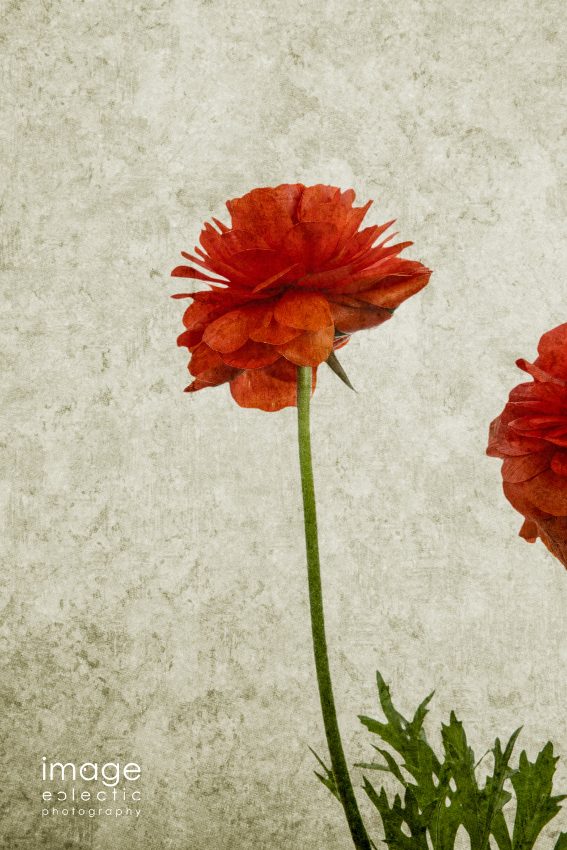 Ranunculus Paint
