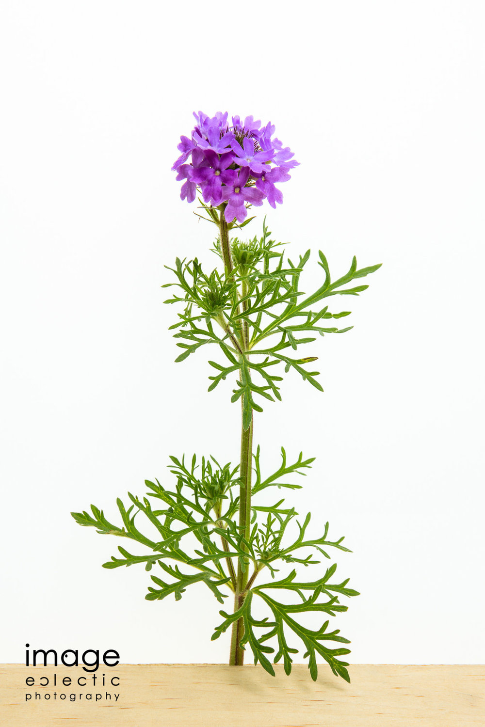 Verbena on the box
