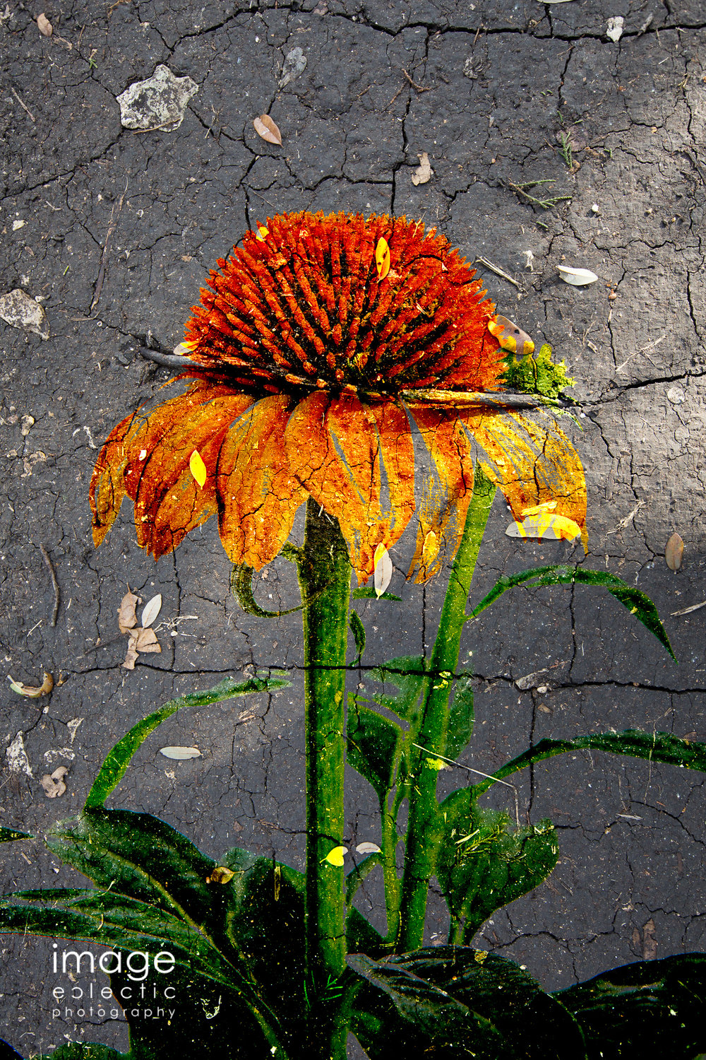 Muddy Coneflower