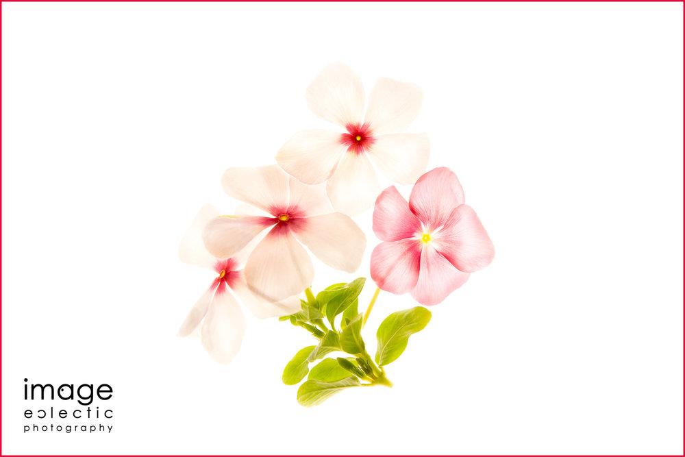 Vinca Blossoms