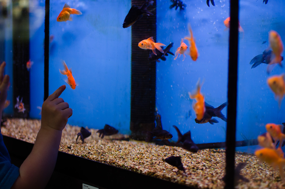 Goldfish-01-2.jpg