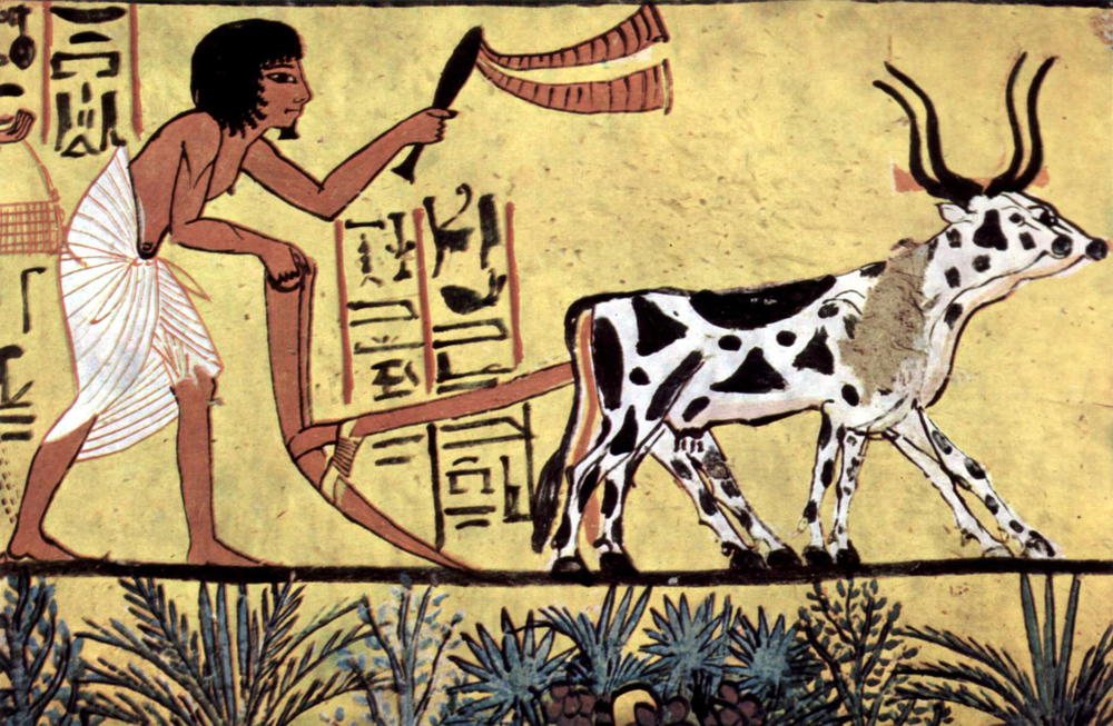 A pair of oxen and an Egyptian farmer spent their lives in hard labor in the service of wheat cultivation ( Tomb of Sennedjem , circa 1200 BC).