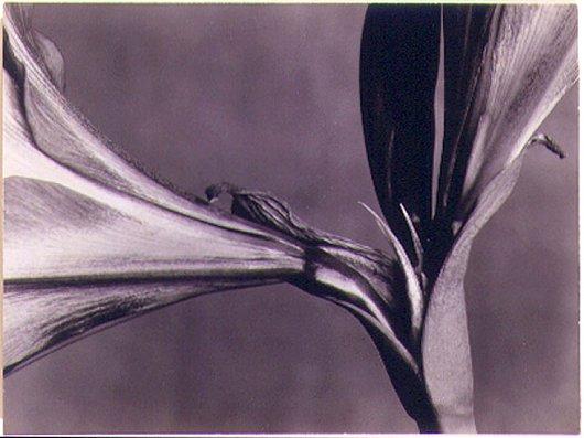 Marjorie Content: Amaryllis, 1931, vintage gelatin silverprint, Washburn Gallery, NY