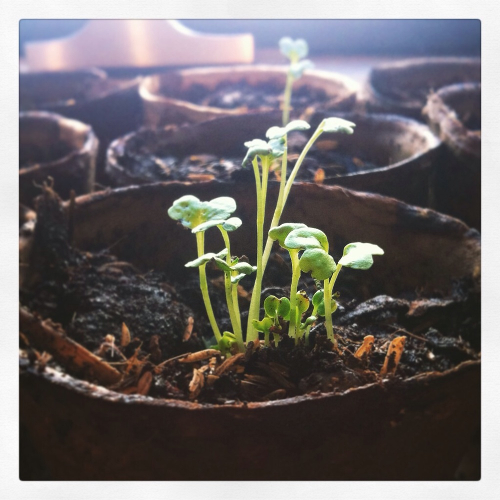 baby kale kluster