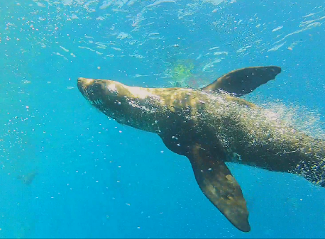 Seals at Montague Island
