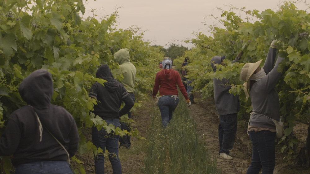 (1) Workers in Grape Field.jpg