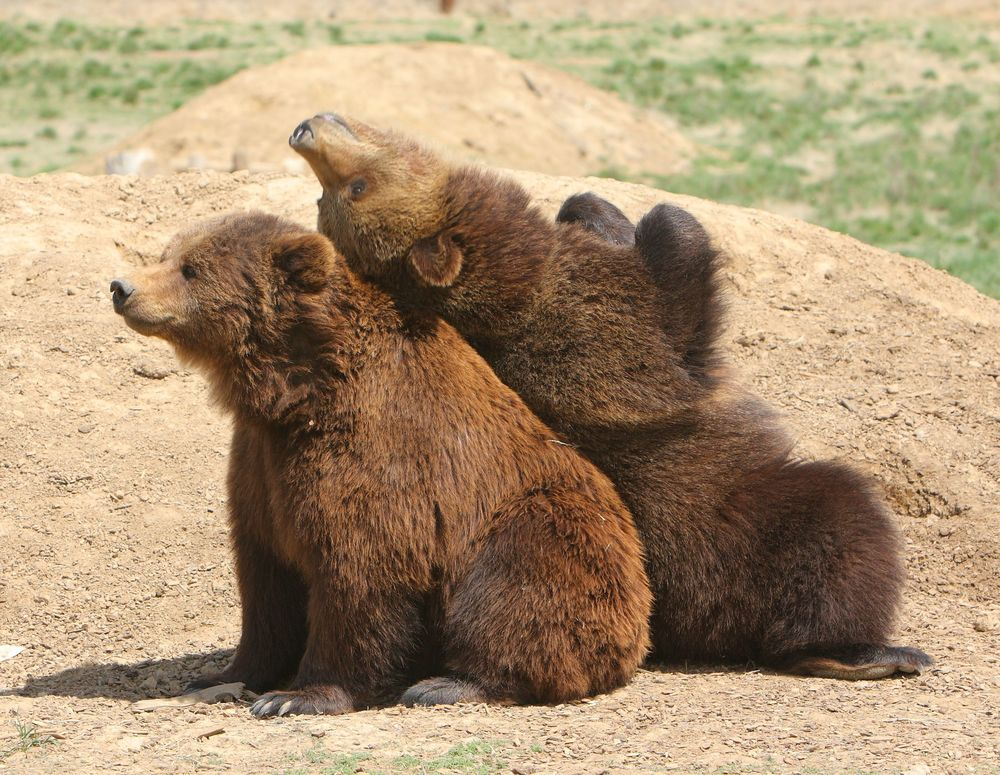 Look at these cute bear cubs doing bear cub stuff!