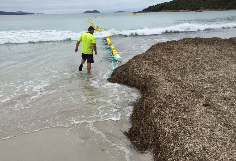 Seagrass accumulation near beach tangling and tearing barrier.