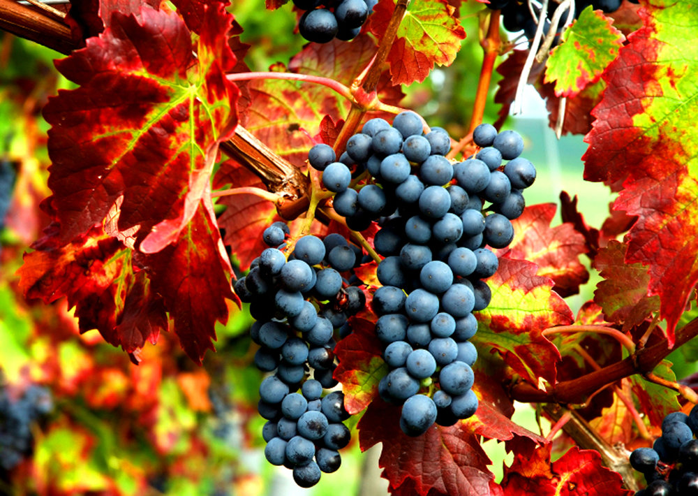 WP-Fall-harvest-grapescrop1.jpg